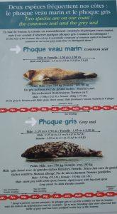 Le Hourdel: les phoques